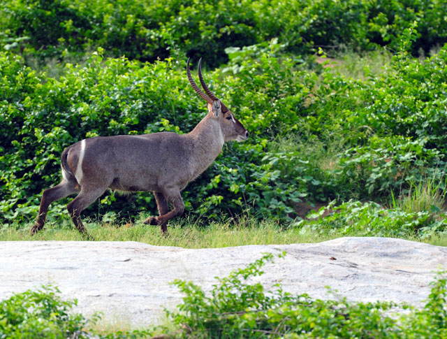 Waterbuck photographed from our tent