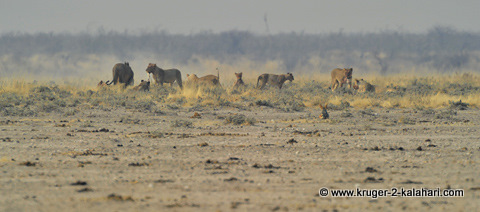 lion pride at Nebrownii waterhole, Etosha