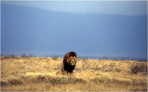 King of the Ngorongoro Crater, Tanzania