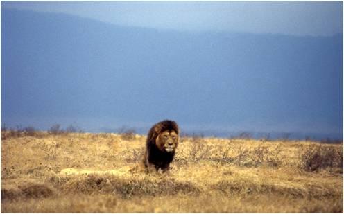 King of the Ngorongoro Crater, Tanzania