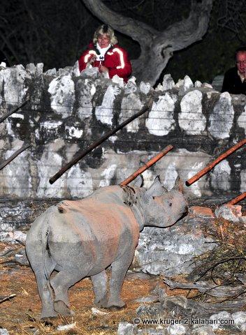 black rhino at wall