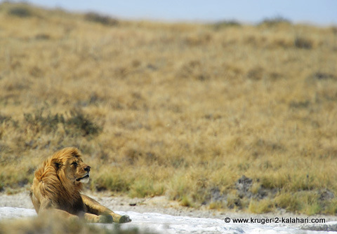 Male lion at Okondeka waterhole