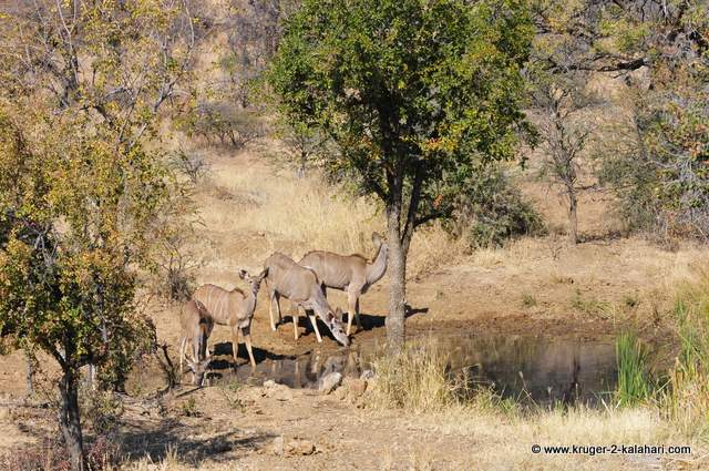 Kudu at the waterhole