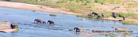 Panorama of elephants crossing the Olifants River
