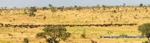 Buffalo herd panorama - Kruger Park