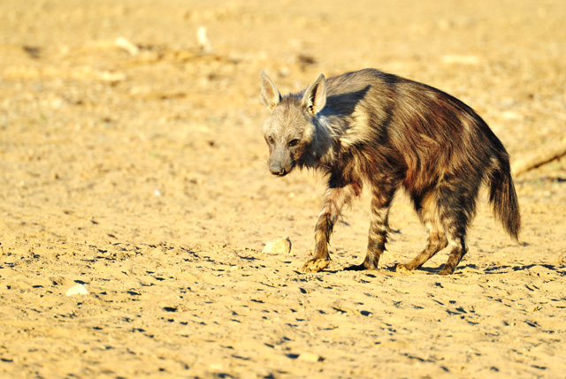 Sick Brown Hyena at waterhole
