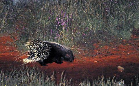 porcupine at Kieliekrankie waterhole