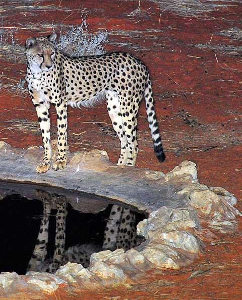 Cheetah at Kieliekrankie wilderness camp