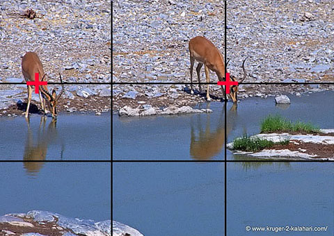 rule of thirds - black-faced impala