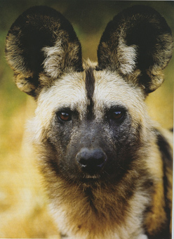 African wild dog or painted wolf