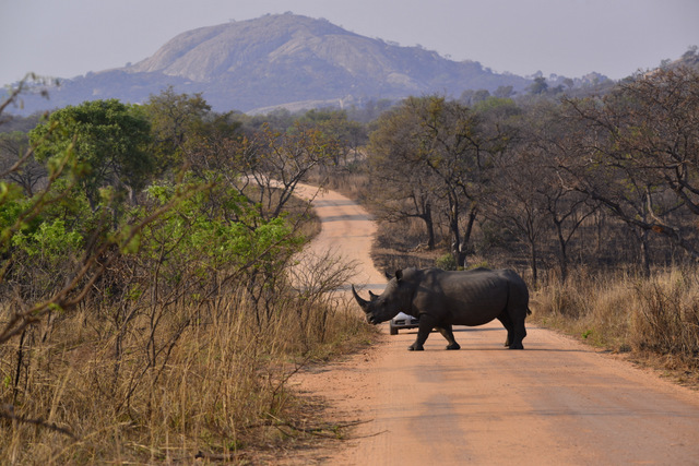 Rhino in road great sighting