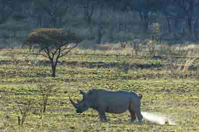 white rhino weeing, pilanesberg