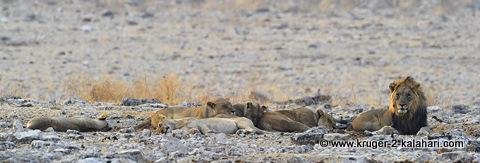 lions at rietfontein waterhole, Etosha