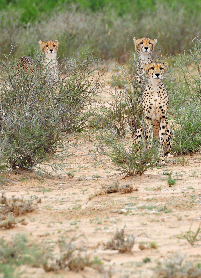 Cheetah mom with cubs - the 3rd cub had gone ahead to stalk a springbok