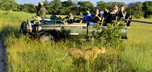 Cheetah sighting on game drive at Cheetah Plains lodge