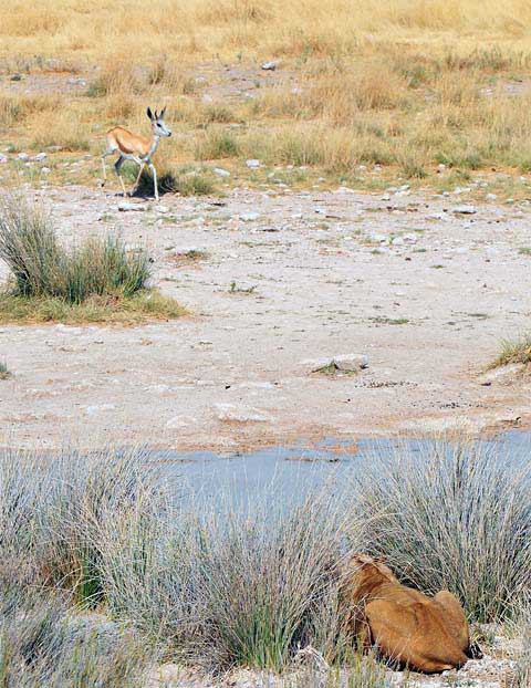 lion ambush at Salvadora waterhole