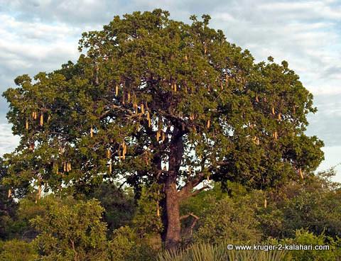 Sausage tree in Kruger Park