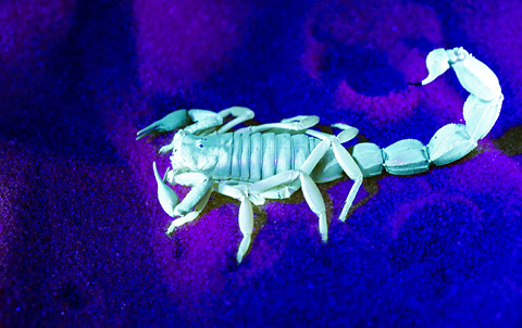 scorpion under ultra violet light