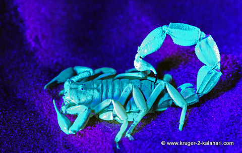 scorpion under ulta violet light