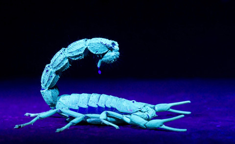 Scorpion with venom droplet under UV light