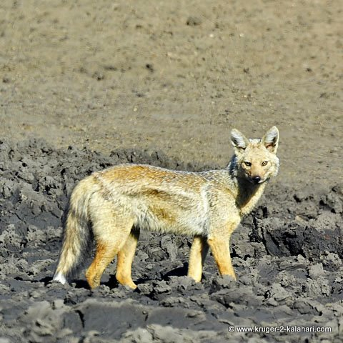 Sidestriped Jackal