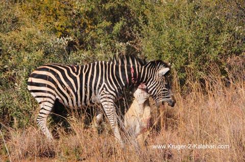 Lioness hanging off Zebra