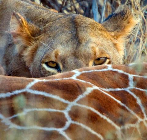 Lion with giraffe kill