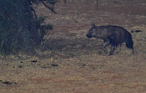 brown hyenas of the pilanesberg