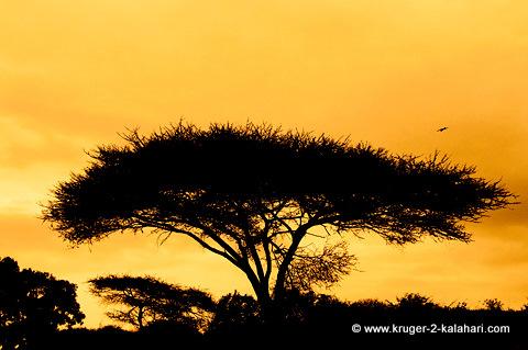 Umbrella tree in Kruger Park