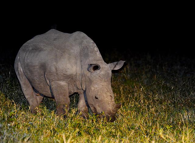 White Rhino at night