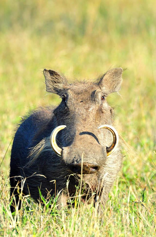 A warthog stare