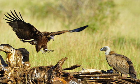 Vultures on elephant carcass