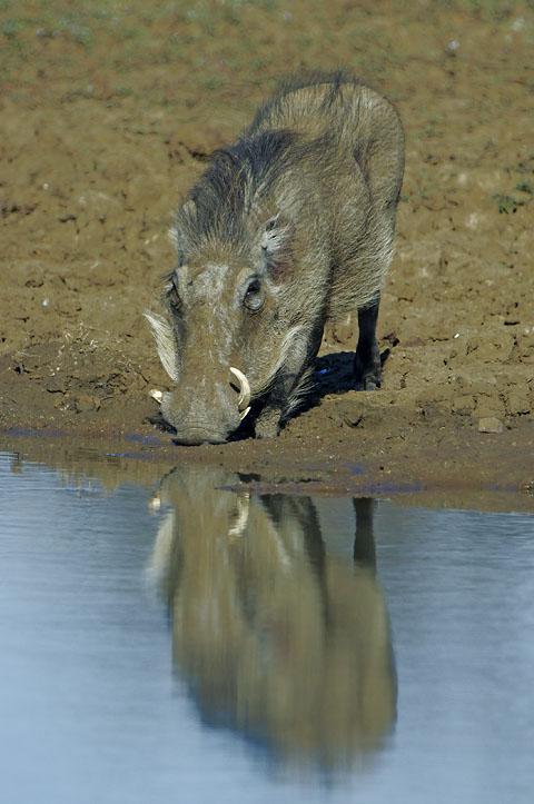 warthog in Pilanesberg