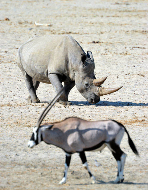 white rhino in etosha