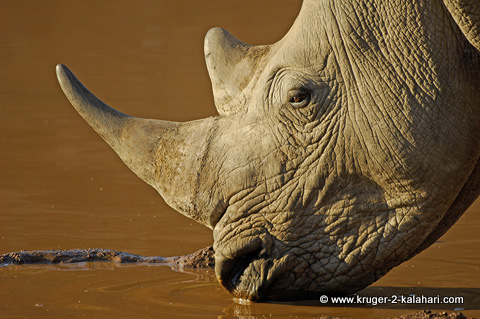 White rhino at Pilanesberg