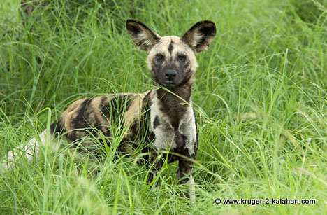wild dog resting under tree in Kruger park