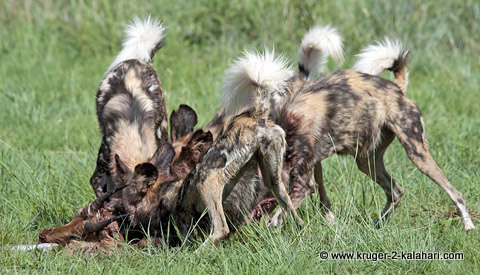 wild dogs at impala kill