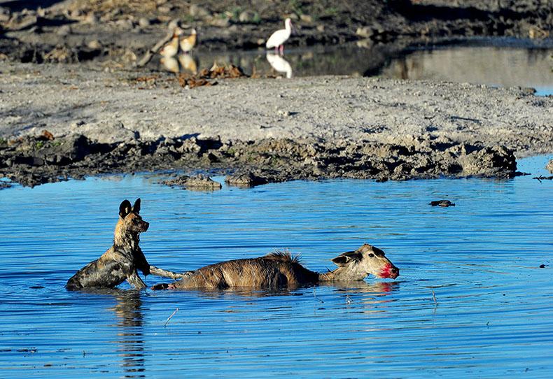 Wild Dog with Kudu