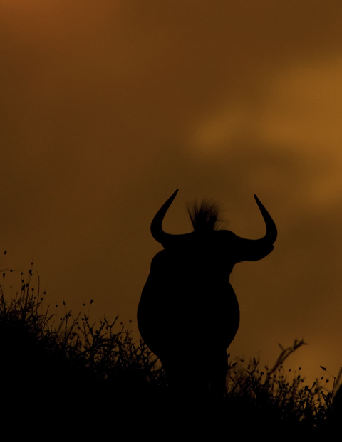 wildebeest silouette in Kgalagadi