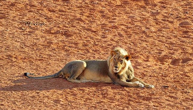 Lion on !Xaus pan
