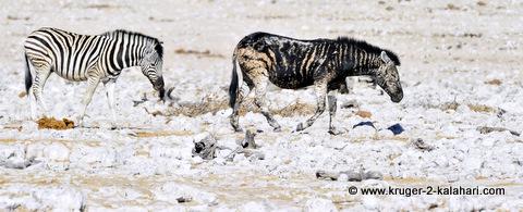 Zebra mutation in Etosha