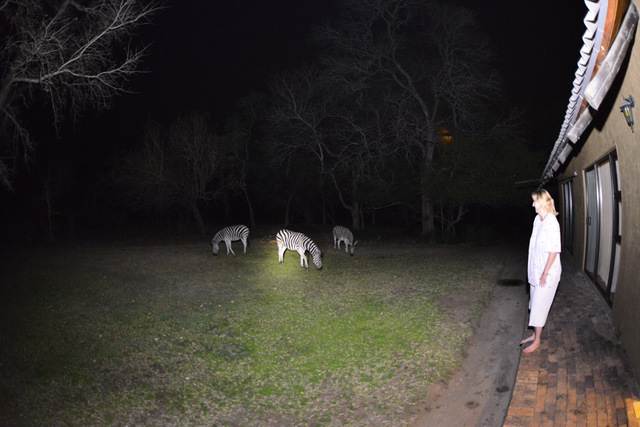 three zebra grazing out side our room at night