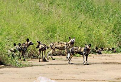 Wild Dogs taken from the bridge