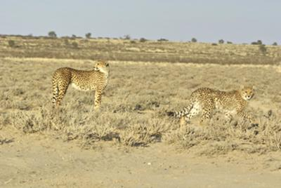 Two cheetahs on the hunt