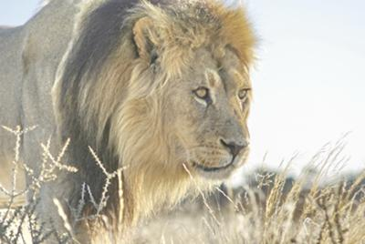 Black-maned lion - King of the Kgalagadi