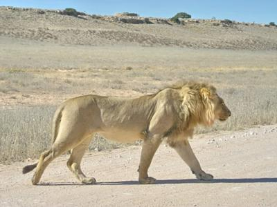 Lion crossing road