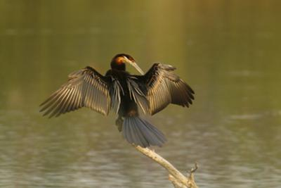 African Darter drying Wings
