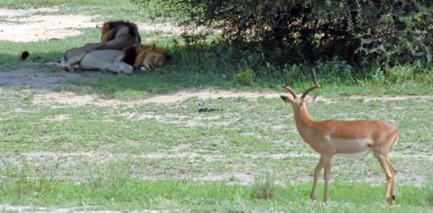 Impala watching sleeping lions