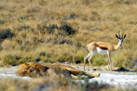Springbok watching sleeping lion in Etosha