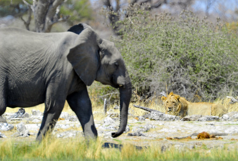 Lion watching elephant in Etosha
